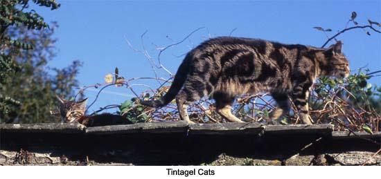 Tintagel Cats