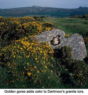 Dartmoor Gorse
