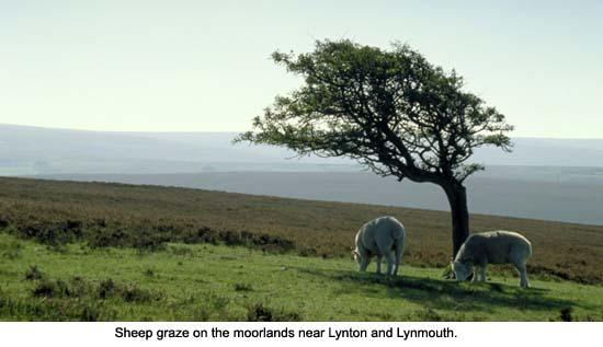 Sheep on Exmoor