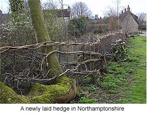 Hedge-laying