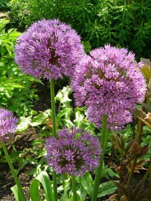 Allium at Great Dixter