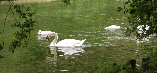 Swans at Wilton